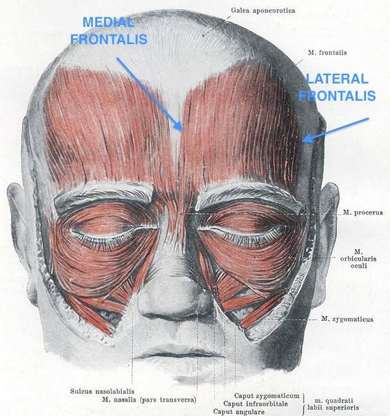 armitage anatomy: occipitofrontalis in action | me + richard armitage, Human Body