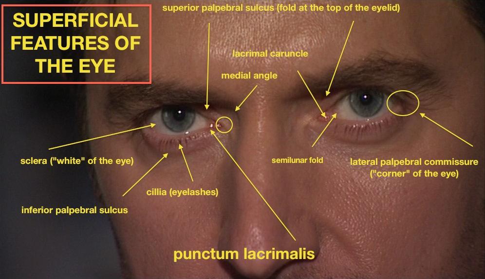 Eye Candy Armitage Or Superficial Armitage Anatomy Me Richard