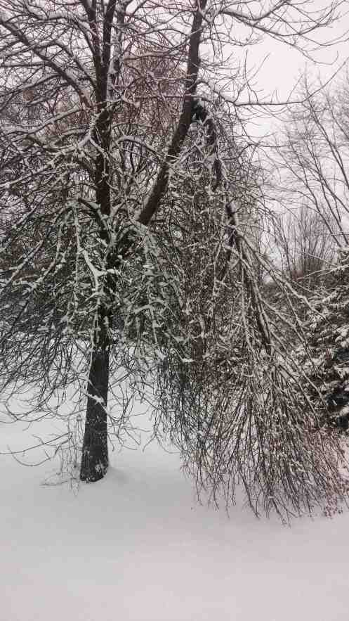 Tree suffers from the snow.