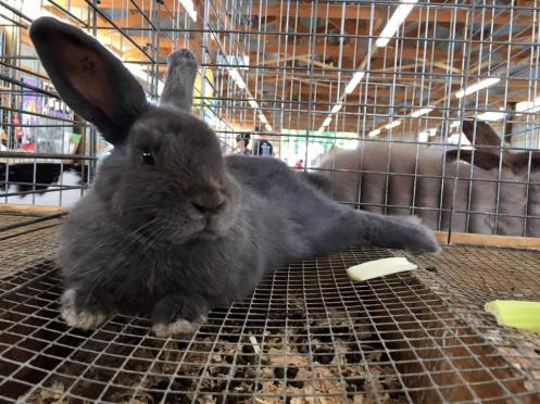 A rabbit from our fair. Not A's.