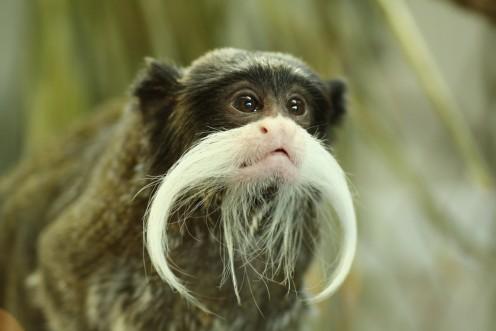 Emperor tamarin (monkey).